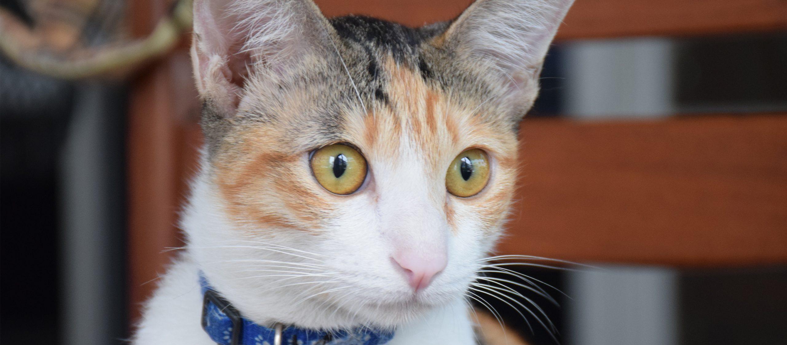 ชบา : แมวสาวจอมแก่นที่ชอบหนีเที่ยวจนเจ้าของใจอ่อนแต่ไม่อ่อนใจ