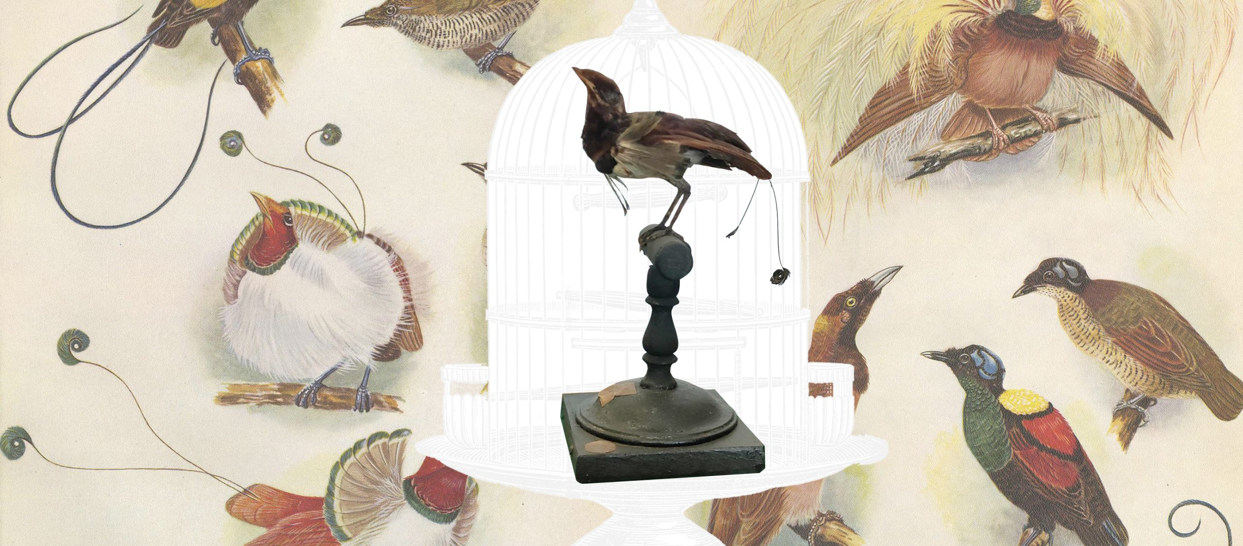 นกปักษาสวรรค์ในพิพิธภัณฑสถานธรรมชาติวิทยา จุฬาฯ