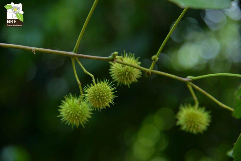 Thai Plant Names